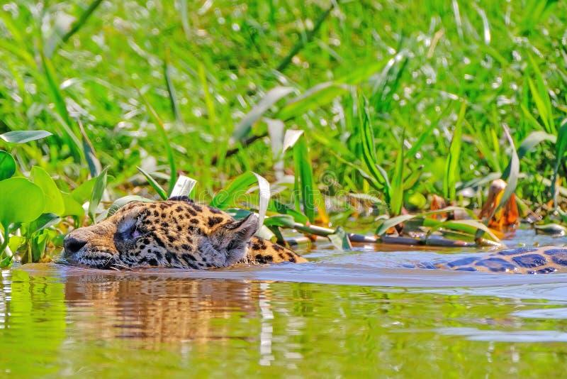 Jaguar pantheraen Onca som är kvinnlig, simmar över den Cuiaba floden, Porto Jofre, Pantanal Matogrossense, Pantanal, Brasilien fotografering för bildbyråer