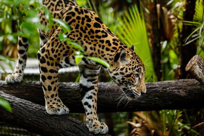 Jaguar Pantheraonca, klättrar på en journal royaltyfri bild