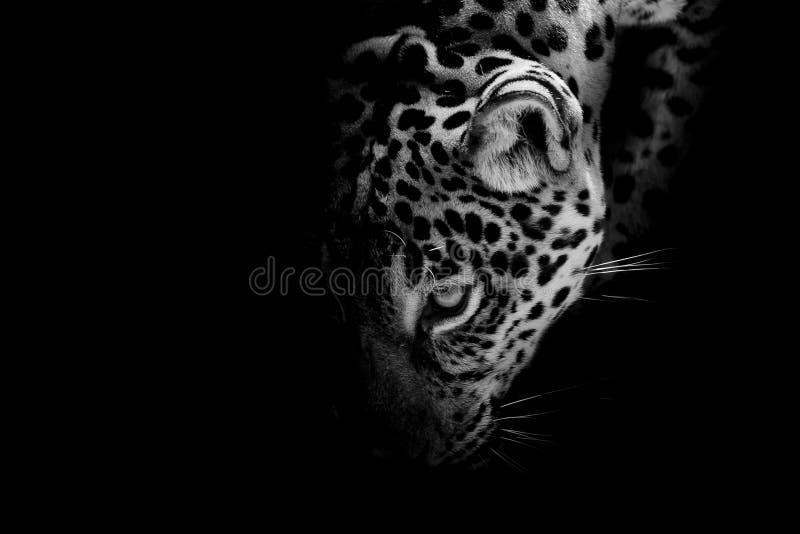 Jaguar portrait royalty free stock photo