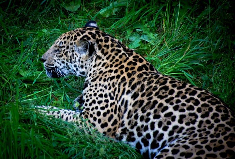 Download Jaguar stock photo. Image of male, nature, eyes, carnivore - 32282958