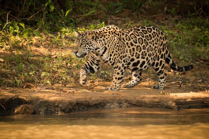 Jaguar que anda ao lado do rio na luz solar dappled fotografia de stock