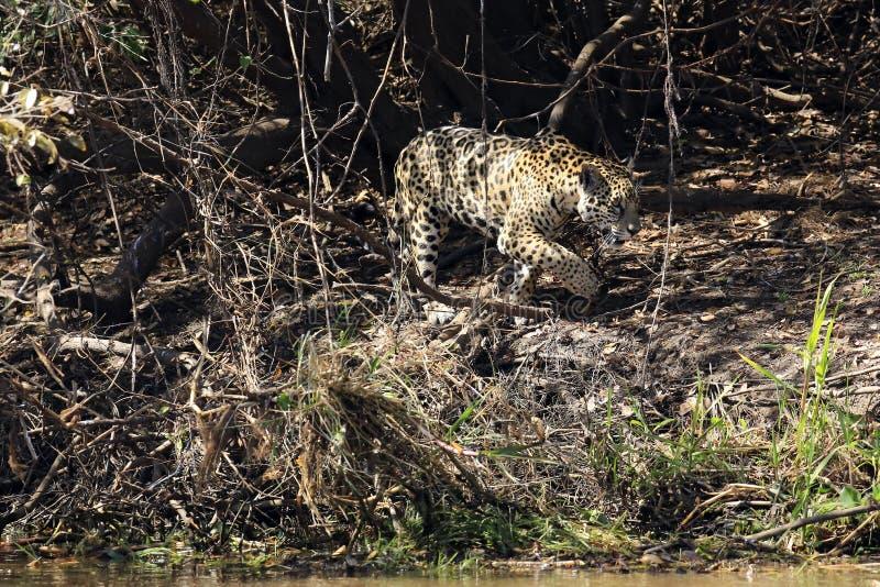 Jaguar que anda ao longo do banco de rio imagens de stock