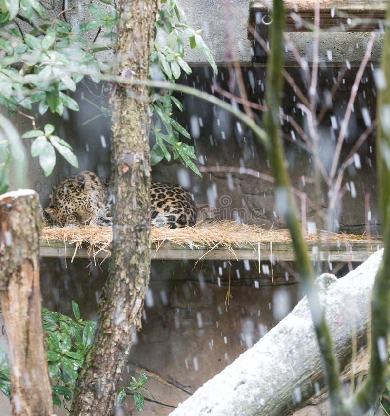 Jaguar que dorme na neve foto de stock royalty free