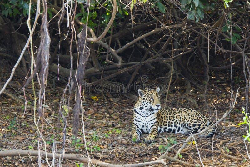 Jaguar que encontra-se entre videiras na maca da folha fotografia de stock royalty free