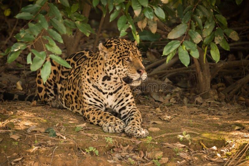 Jaguar que encontra-se na terra desencapada sob arbustos fotos de stock royalty free