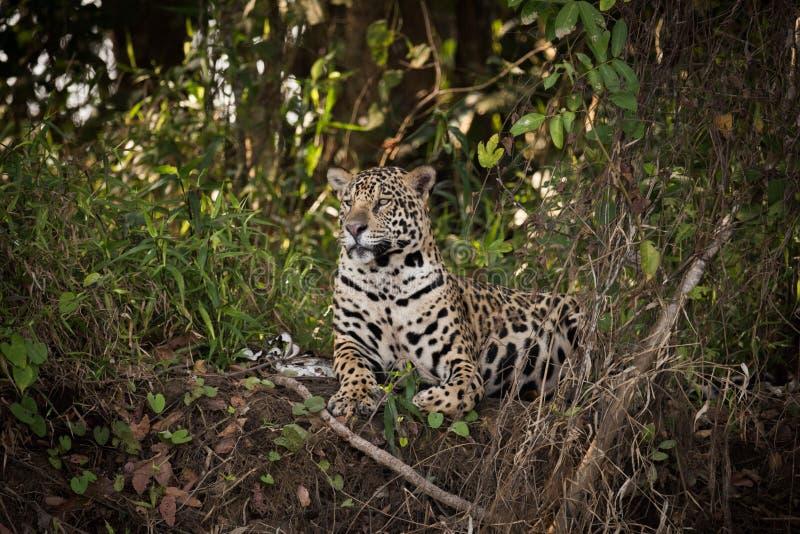 Jaguar que encontra-se para baixo no mato olha à esquerda fotografia de stock