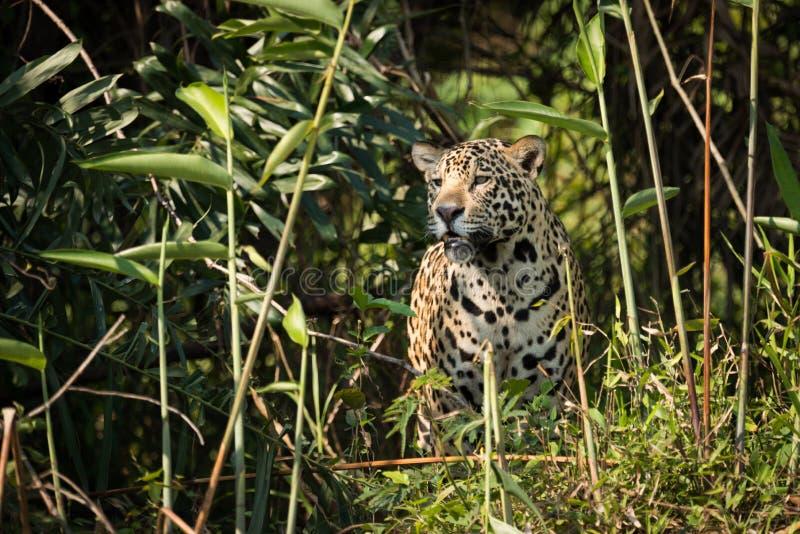 Jaguar que está olhando fixamente através do mato na luz do sol imagens de stock royalty free
