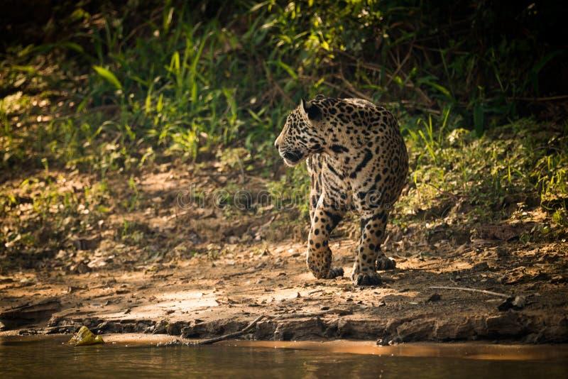 Jaguar que gira ao lado do rio na luz solar dappled fotos de stock