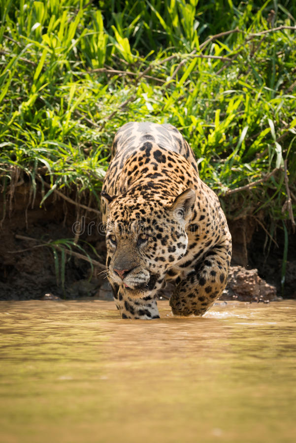 Jaguar que olha à esquerda de passeio com o raso enlameado imagem de stock
