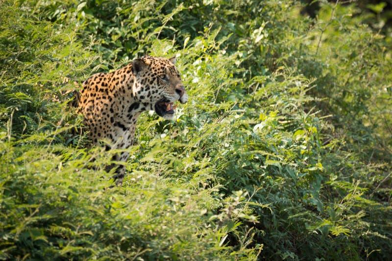 Jaguar que olha fixamente para fora dos arbustos na luz do sol fotos de stock