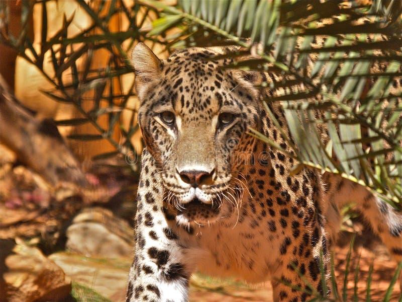 Jaguar que olha fixamente - parte 1 imagem de stock royalty free