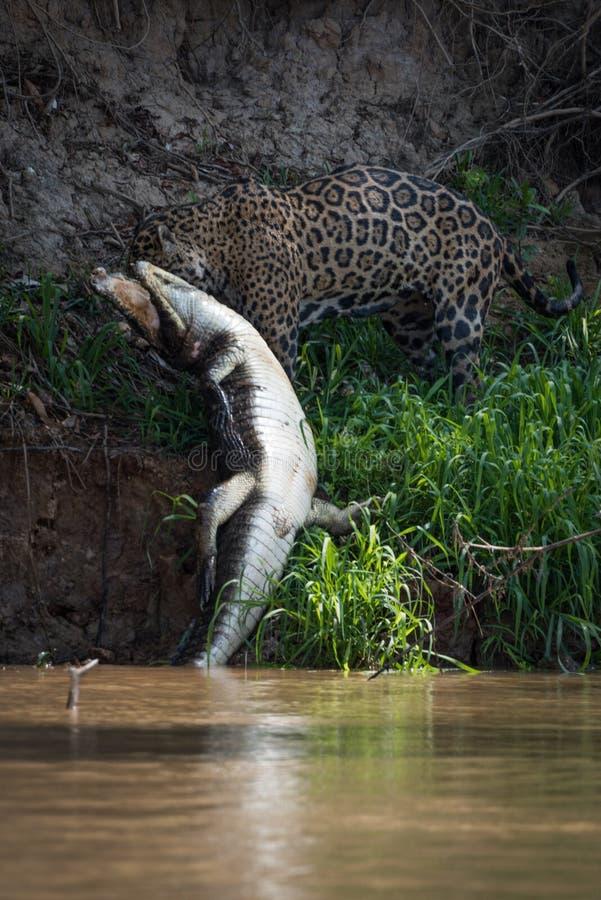 Jaguar que puxa o caimão do yacare fora da água foto de stock royalty free