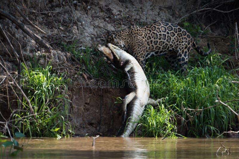 Jaguar que puxa o caimão do yacare fora do rio fotos de stock royalty free