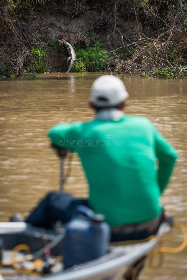 Jaguar que puxa o caimão do yacare olhado pelo barqueiro imagens de stock