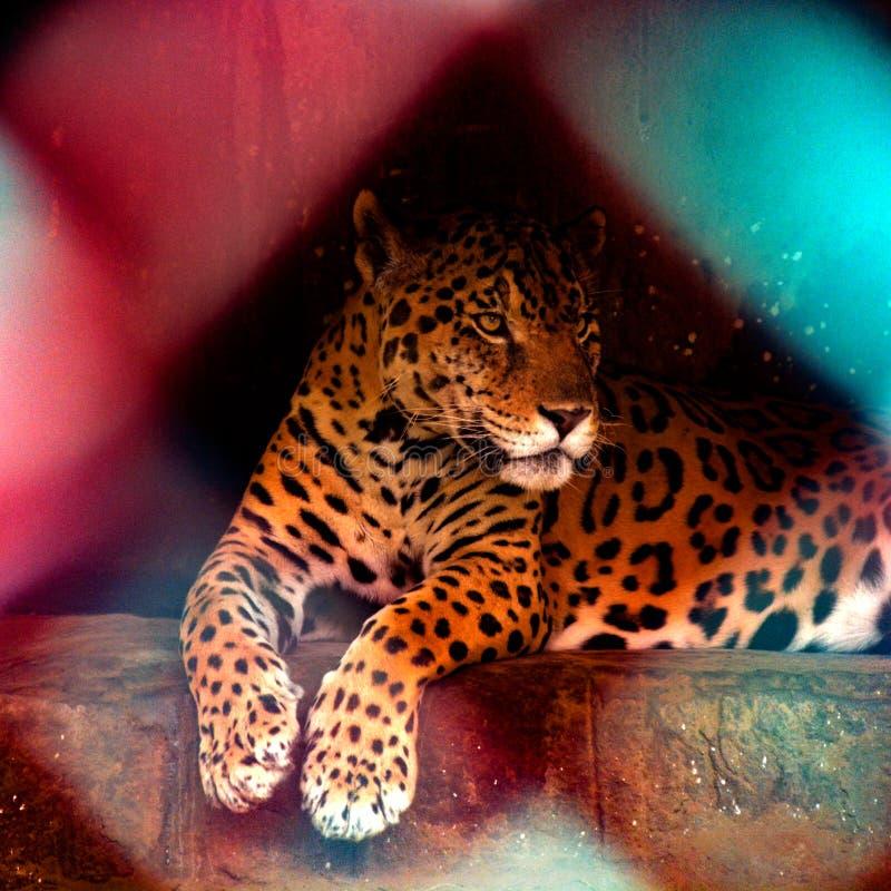 Jaguar que se sienta en jaula en un parque zoológico en la India imagen de archivo