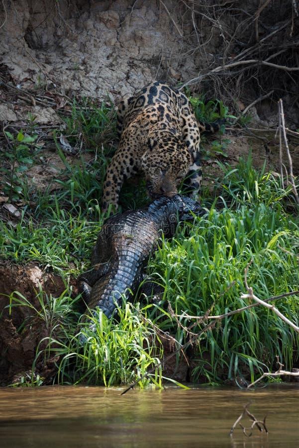 Jaguar que transporta o caimão do yacare acima do banco de rio imagens de stock