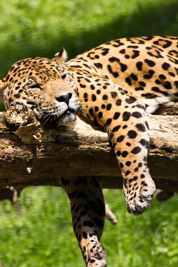 Download Jaguar relaxing stock photo. Image of controlled, wildlife - 20727908