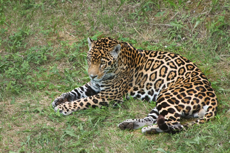 Jaguar in a rest stock image