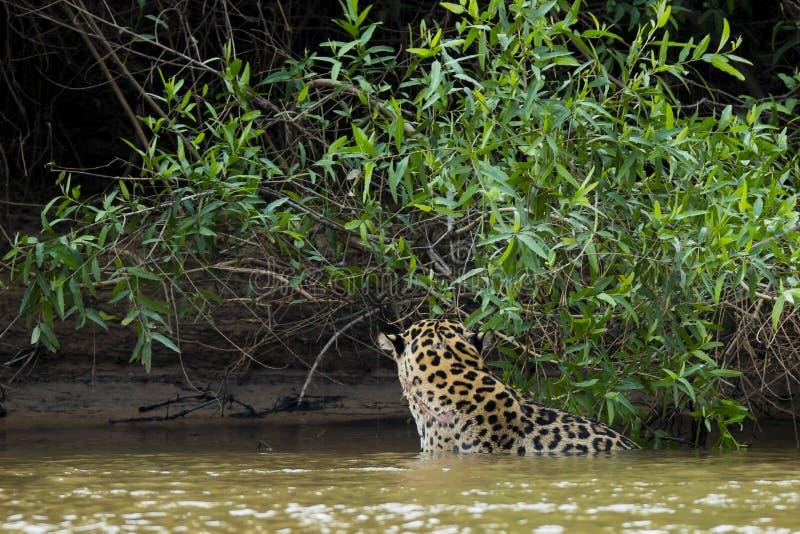 Jaguar salvaje en el río por la selva, modelo de la piel de la demostración de la vista posterior imagenes de archivo
