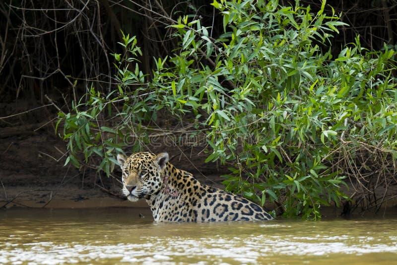 Jaguar salvaje mojado que se detiene brevemente en el río delante de la selva imagenes de archivo