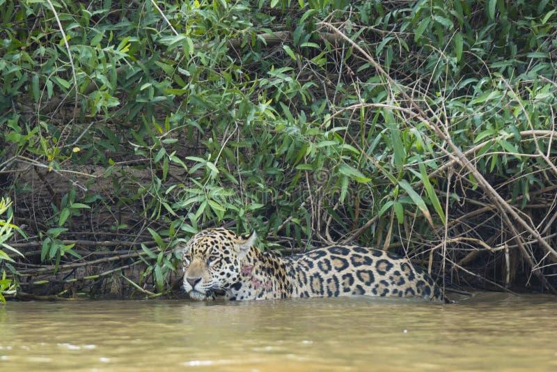Jaguar salvaje mojado que se detiene brevemente en el río delante de la selva imagen de archivo libre de regalías
