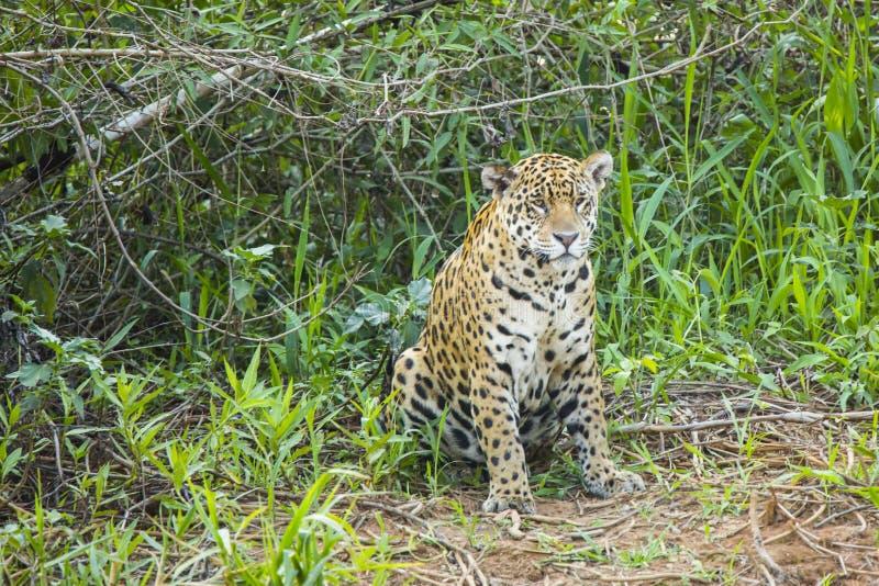 Jaguar salvaje que se sienta en área herbosa abierta imágenes de archivo libres de regalías
