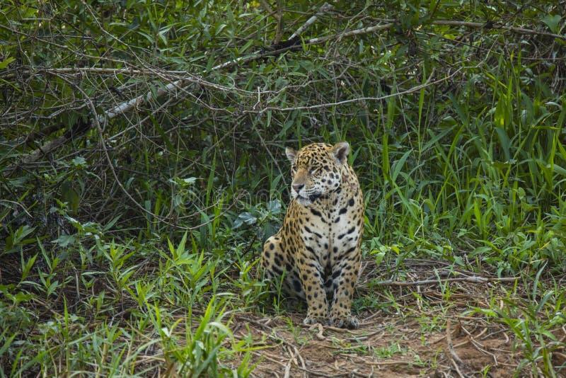 Jaguar salvaje que se sienta en el claro de la selva imagen de archivo libre de regalías