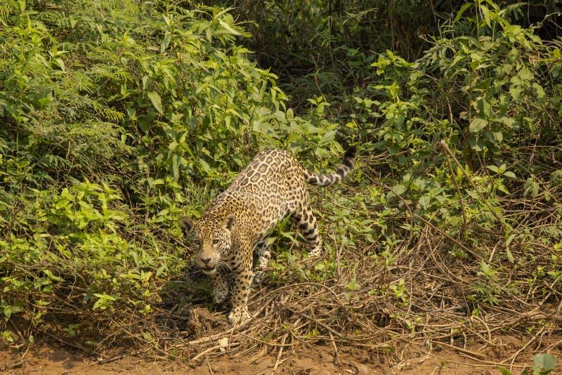 Jaguar salvaje se detuvo brevemente delante de arbustos imagen de archivo