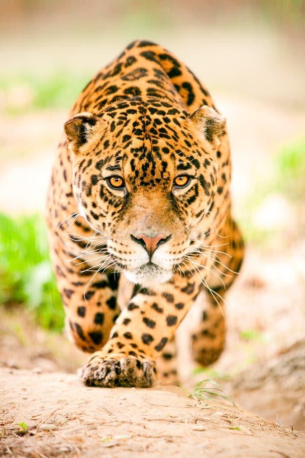 Jaguar selvagem agressivo que vem obtê-lo fotos de stock