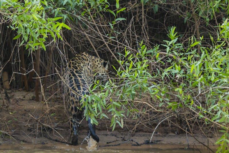 Jaguar selvagem molhado embebendo que anda fora do rio na selva imagem de stock
