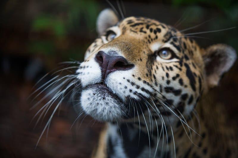 Jaguar selvaggio nella giungla di Belize fotografia stock libera da diritti