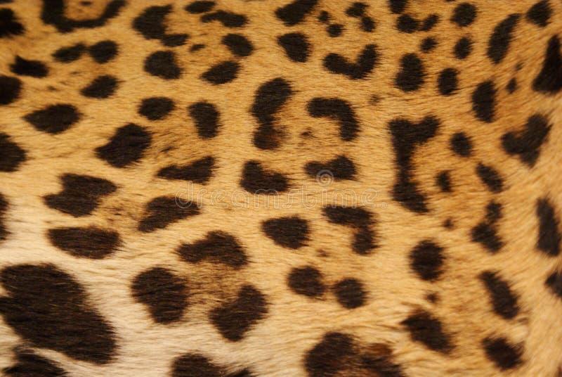 Jaguar skóra obrazy royalty free