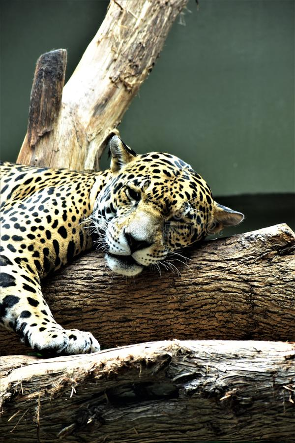 Jaguar soñoliento fotos de archivo libres de regalías