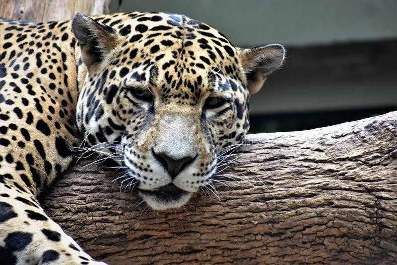 Jaguar soñoliento fotos de archivo