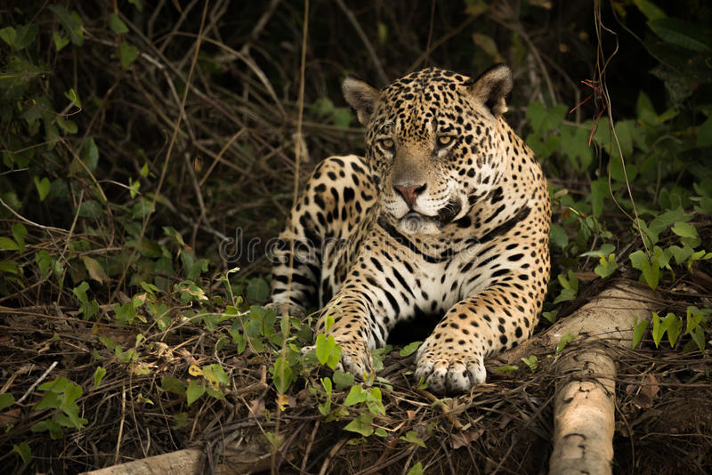 Jaguar som ligger bredvid den bevuxna banken för inloggning arkivbilder