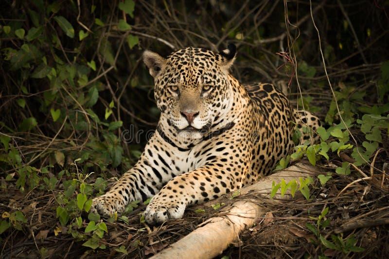 Jaguar som ligger bredvid lövrik undervegetation för inloggning arkivbilder