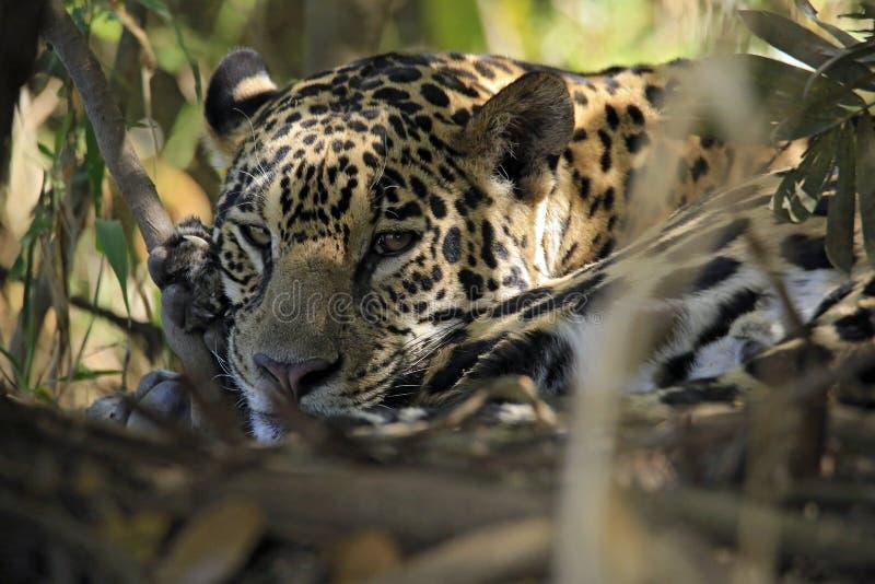 Jaguar som ligger på jordningen arkivfoto