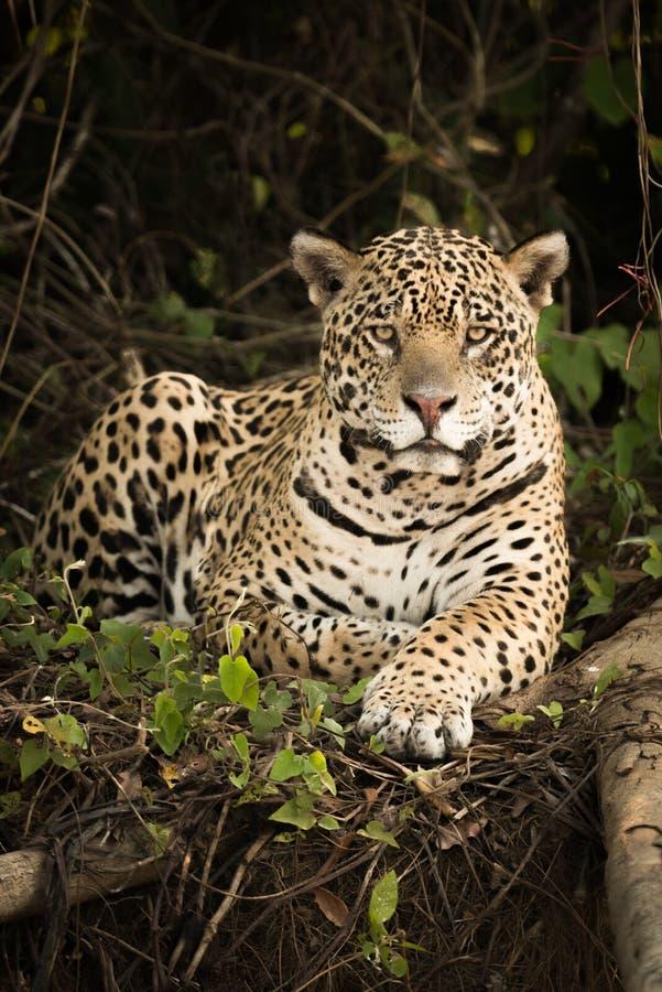 Jaguar som ligger vid den täta skogen för inloggning royaltyfria bilder