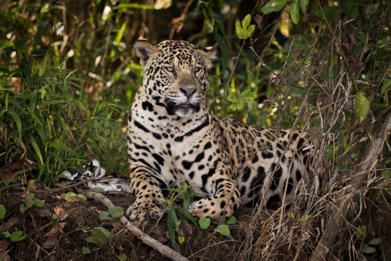 Jaguar som ner ligger i undervegetation, ser höger royaltyfri fotografi