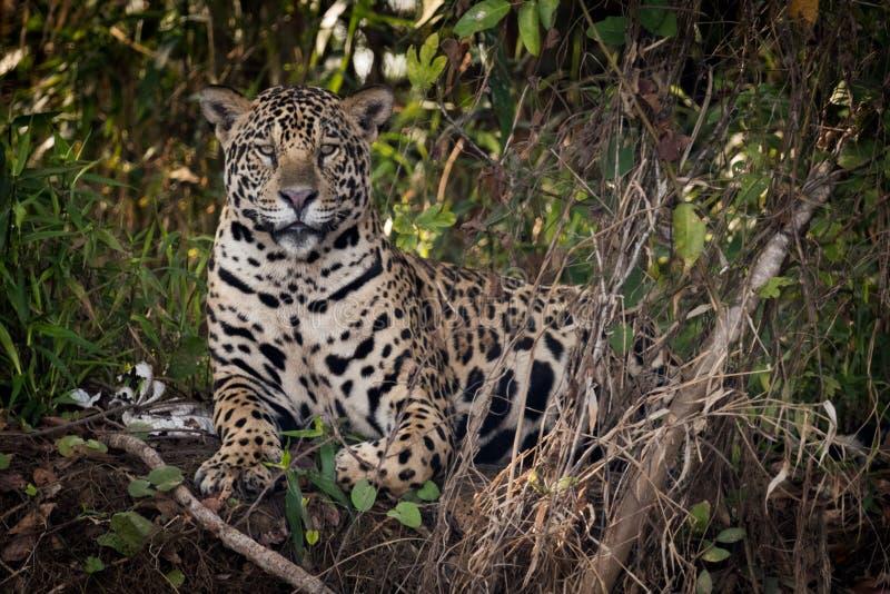Jaguar som ner ligger i undervegetation, vänder mot kameran royaltyfri fotografi