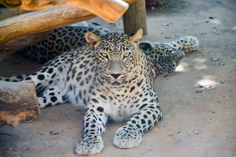 Jaguar som vilar på en strand royaltyfri fotografi