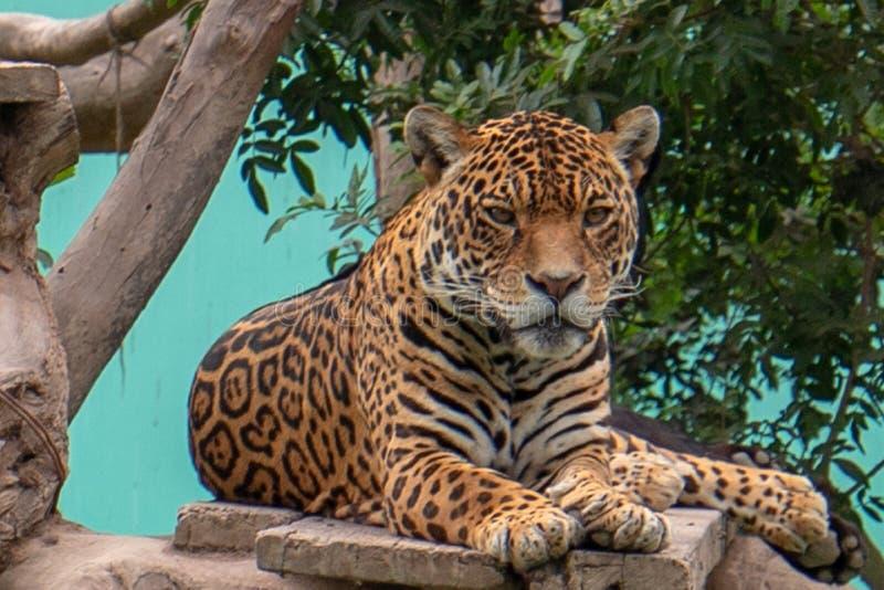 Jaguar som vilar på trädplattformen i Parque de las Leyendas Zoo i Lima Peru S Amerika arkivfoto