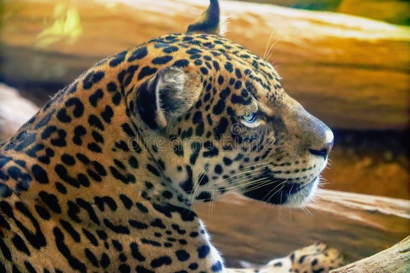 Jaguar sta riposando sul legno fotografia stock