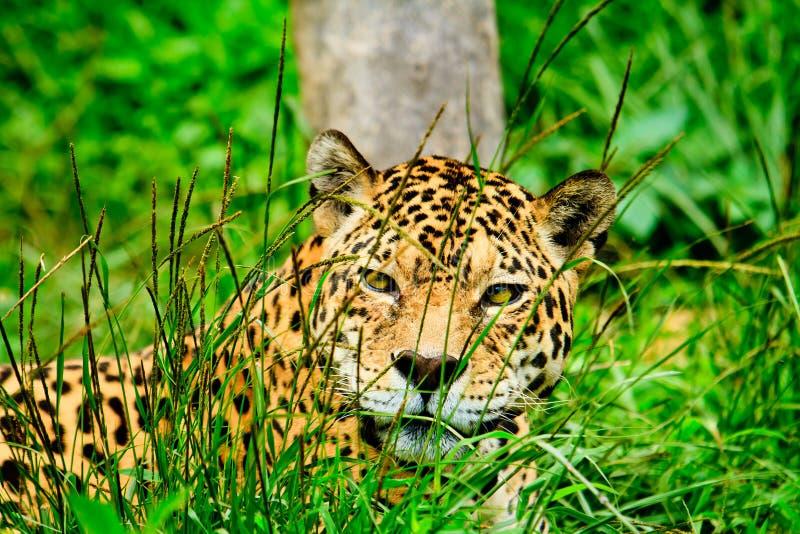 Download Jaguar staring at you stock photo. Image of danger, hunter - 26837458