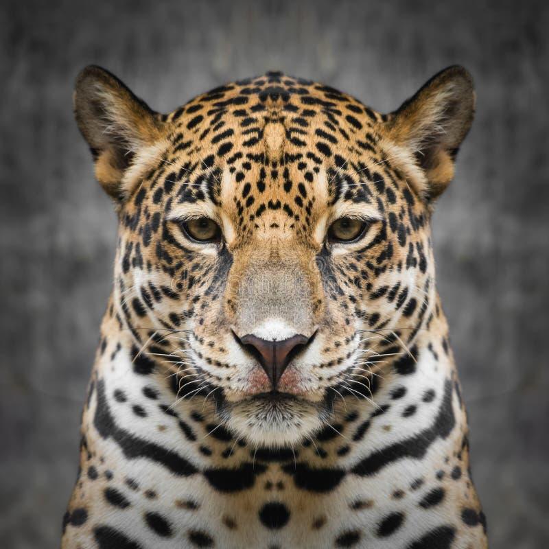 Jaguar stawia czoło zamknięty up zdjęcia stock