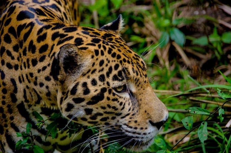 Jaguar stawia czoło zbliżenie obrazy royalty free