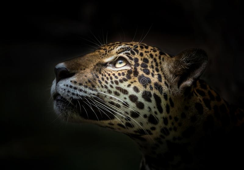 Jaguar stellen gegenüber lizenzfreie stockfotografie