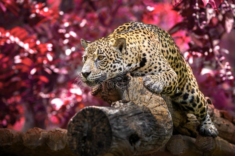 Jaguar sunbathing lie on the woods in the natural atmosphere. royalty free stock images