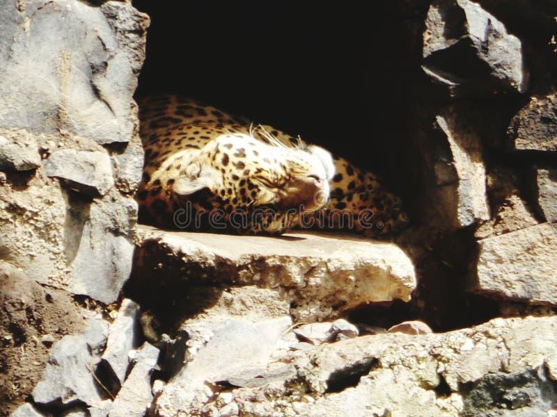 Jaguar taking a nap royalty free stock image