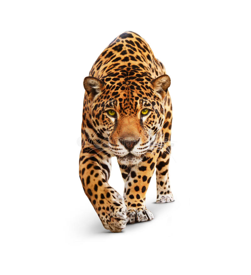 Jaguar - vue de face, d'isolement sur le blanc, ombre. photo libre de droits